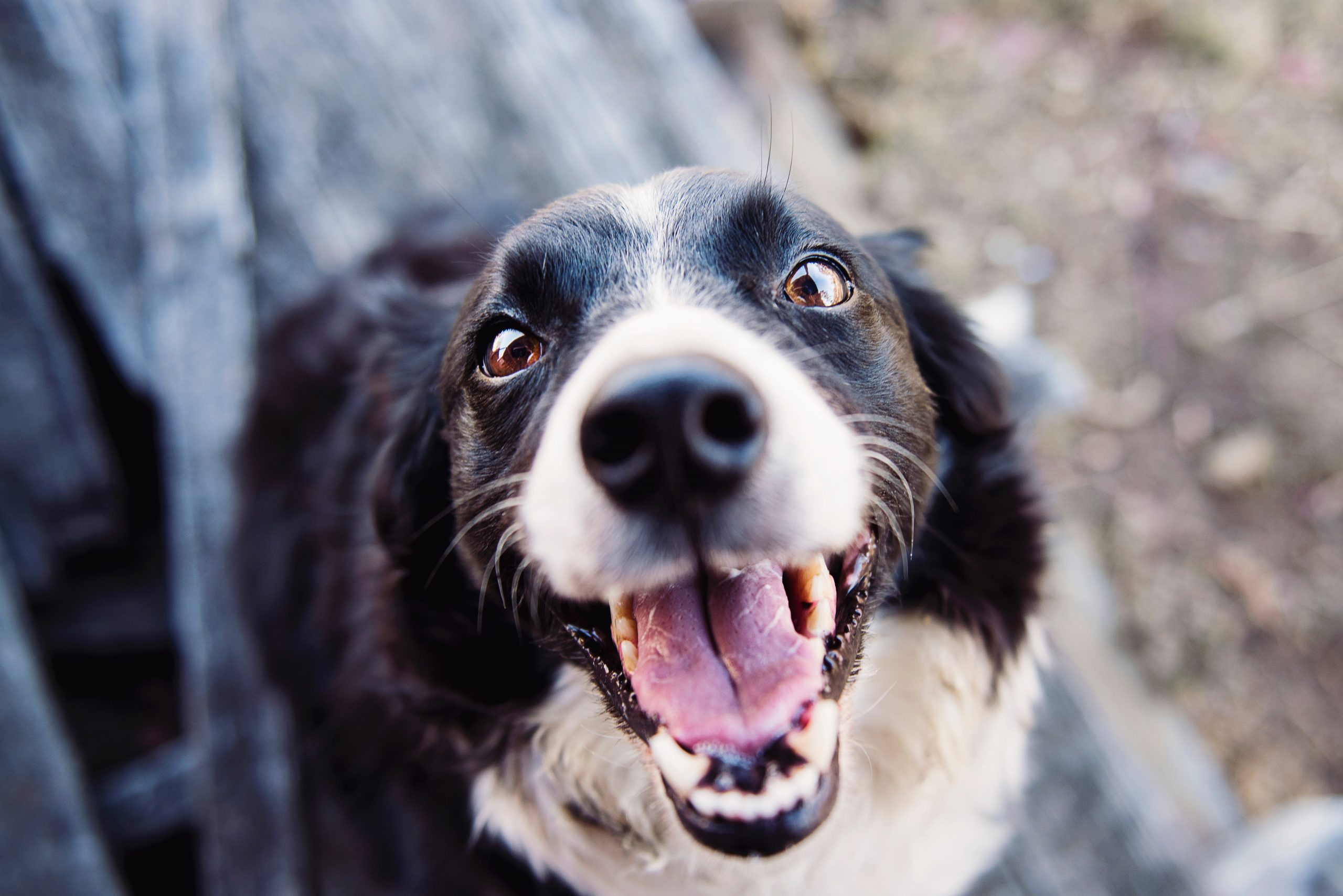 Photo of friendly black and white dog panting and showing its teeth which could represent a source of great fear or anxiety for a child who could benefit from online anxiety treatment in Illinois